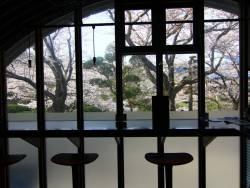 足湯Barクロニクルテラスからの桜。(夜はライトアップしています)桜と美味しいカクテルで至福のひと時を♪