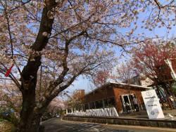 café & shop KiHaKo「嬉箱」桜が見頃です!お花見しながらランチはいかがですか♪