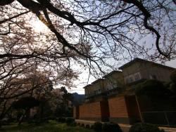 『別邸をりから』前の桜も見事に花開きました☆プライベート空間で桜もお楽しみください。