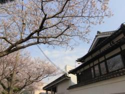 『吉田屋』前の桜。川側客室はお部屋から花見が楽しめます。のんびりお部屋で夜桜鑑賞はいかがでしょうか。