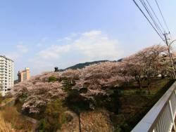 川沿いの桜。施設が隠れるほど桜が咲き誇り、お散歩も気持ち良いですよ♪