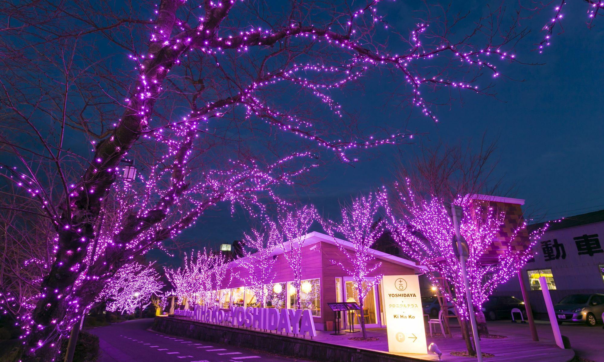 夏桜(桜イルミネーションのお知らせ)