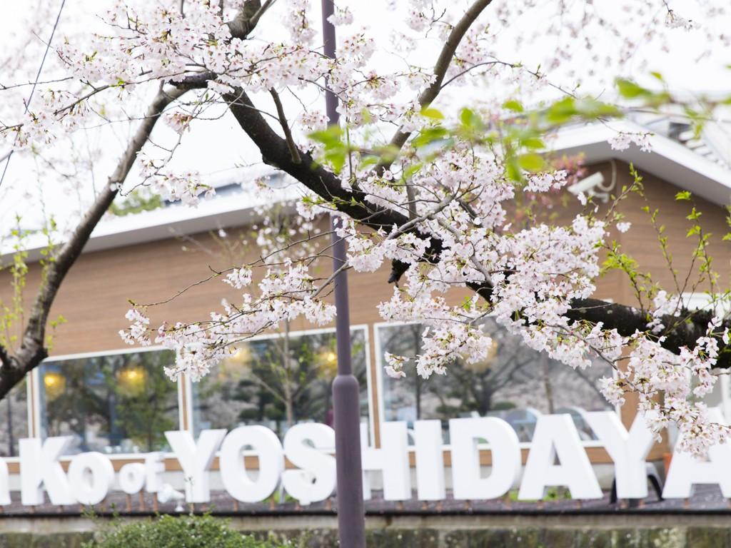 2021桜見状況!~吉田屋前の桜並木を楽しもう♪~