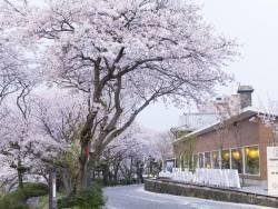 当館前の川辺を往復しながら両サイドの桜並木を楽しむのはいかがでしょうか。